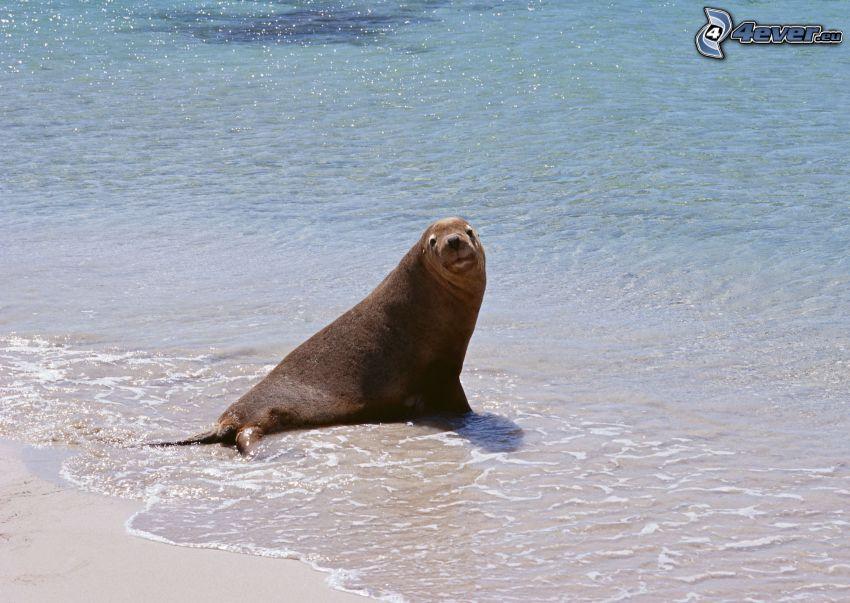 phoque, mer, plage