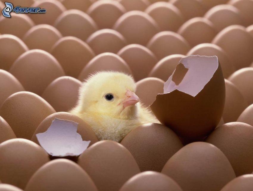 poussin, œufs, coquille d'œuf