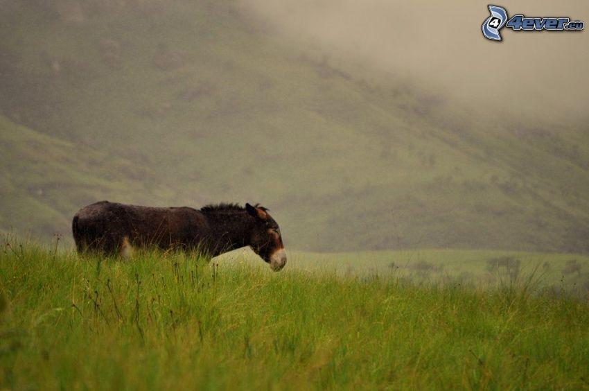 âne, prairie, colline