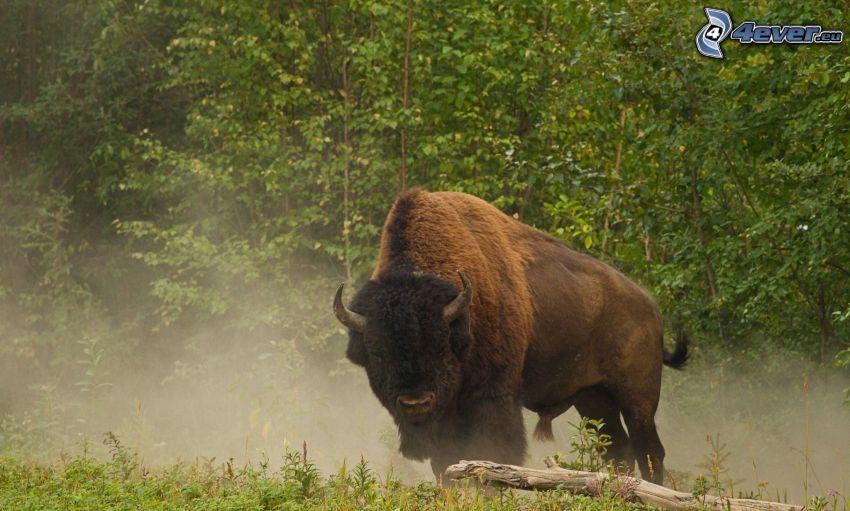 bison, brouillard au sol