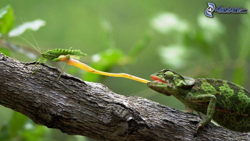 caméléon, langue longue, sauterelle, tronc
