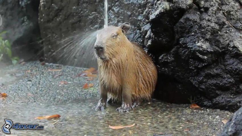 Capybara, jet d'eau
