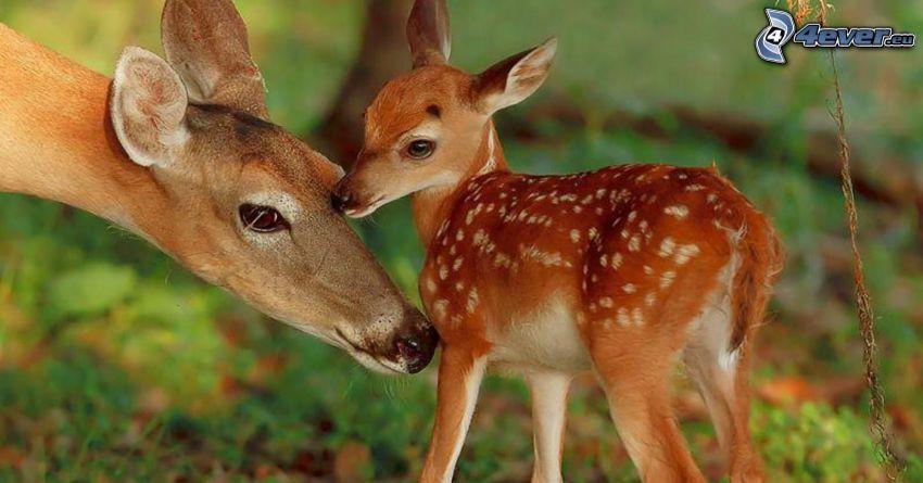 cerfs, jeune de chevrette