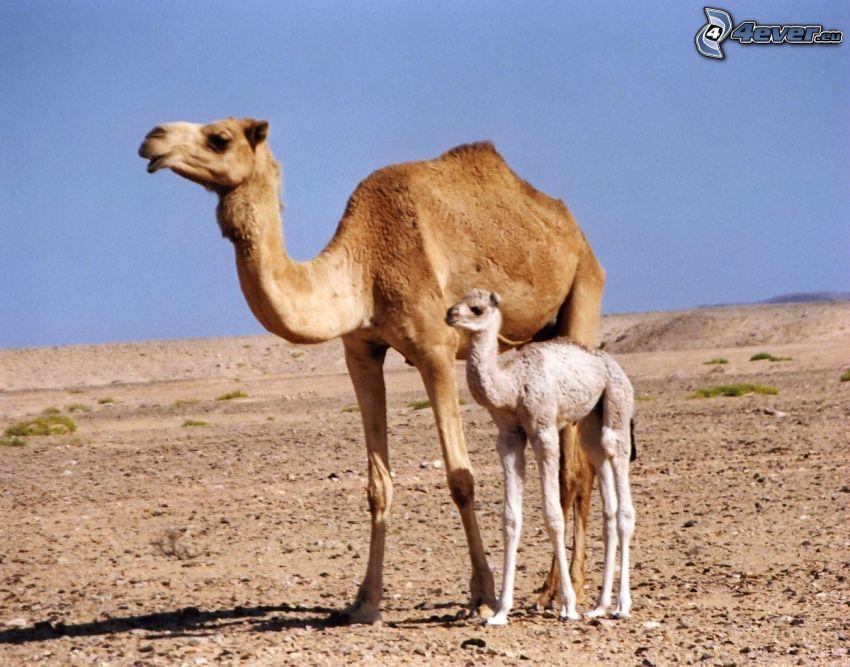 chameaux, jeune chameau