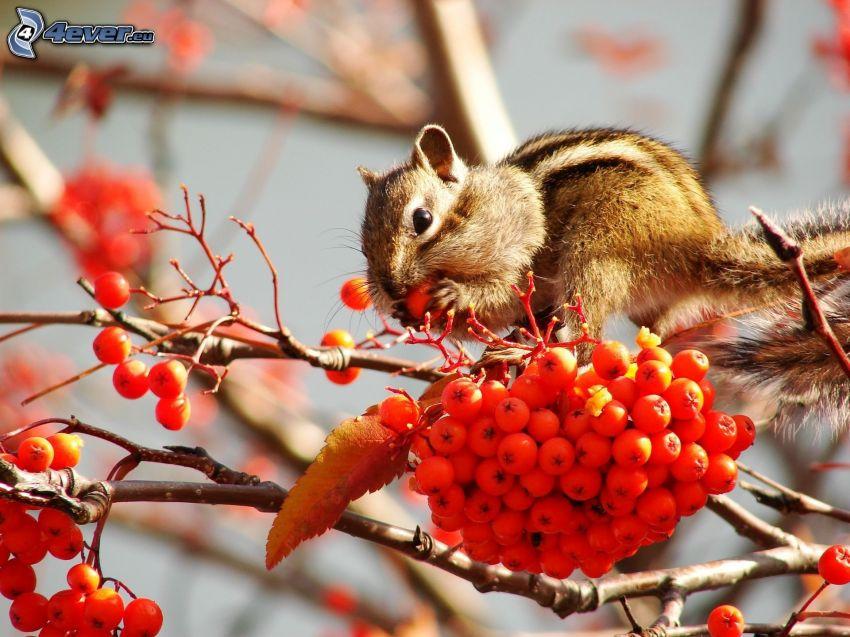 écureuil, Sorbier des oiseleurs