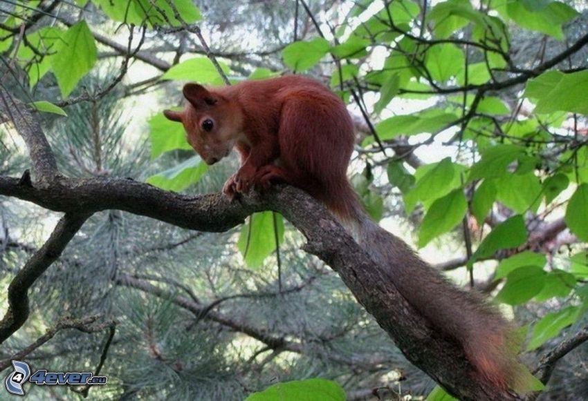 écureuil dans un arbre