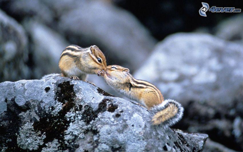 écureuils, baiser, rocher