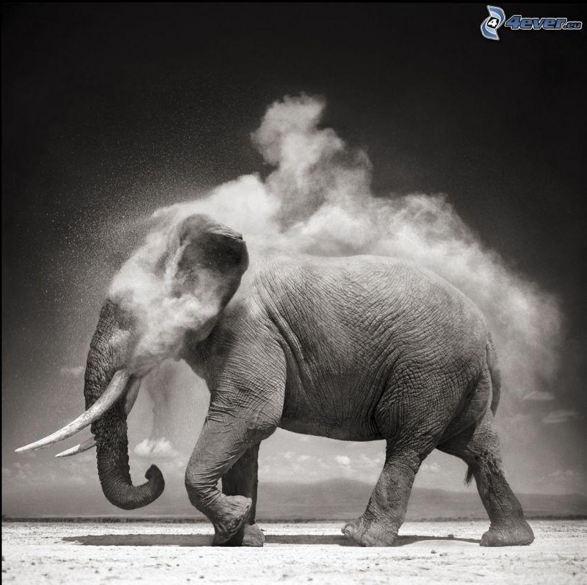 éléphant, la poussière, noir et blanc