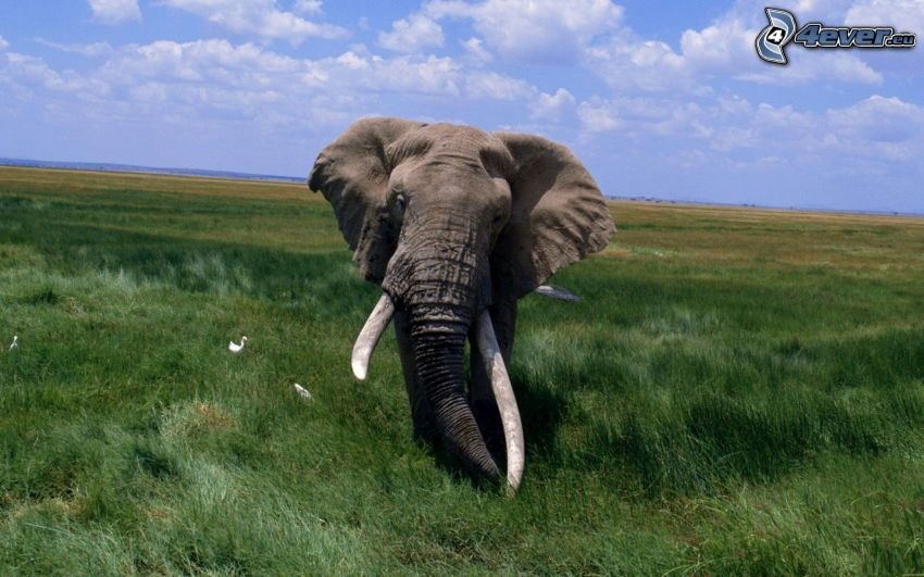 éléphant, prairie verte