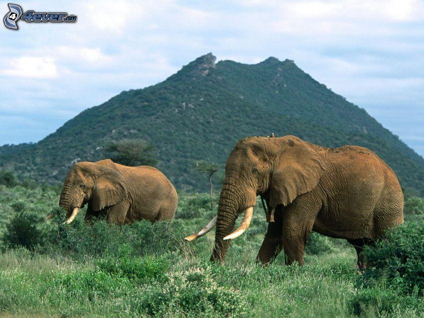 éléphants, colline