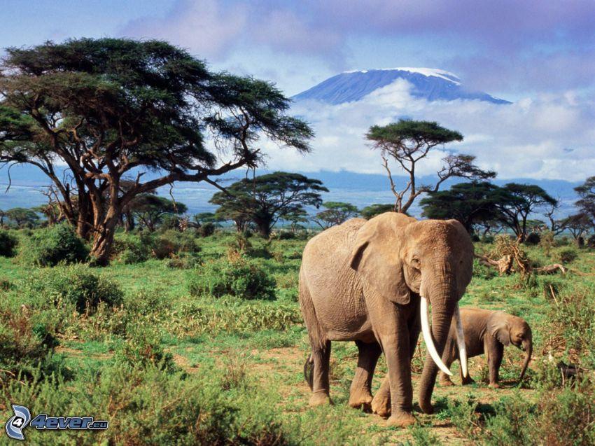 éléphants, éléphant jeune, savane, arbres, montagne
