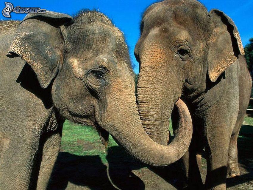 éléphants, proboscis, amour