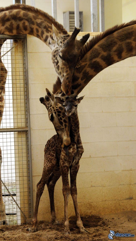 famille de girafe, jeune, amour