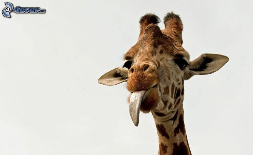 girafe, tête, langue tiré