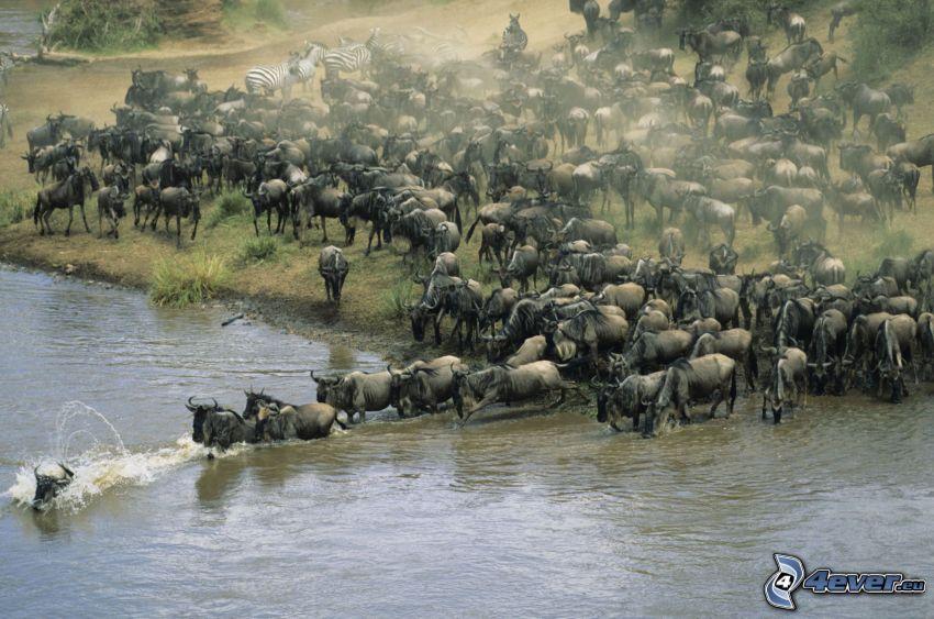 gnous, troupeau des animaux, rivière, zébras