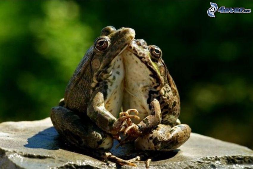 Grenouilles, amour, étreinte, pierre