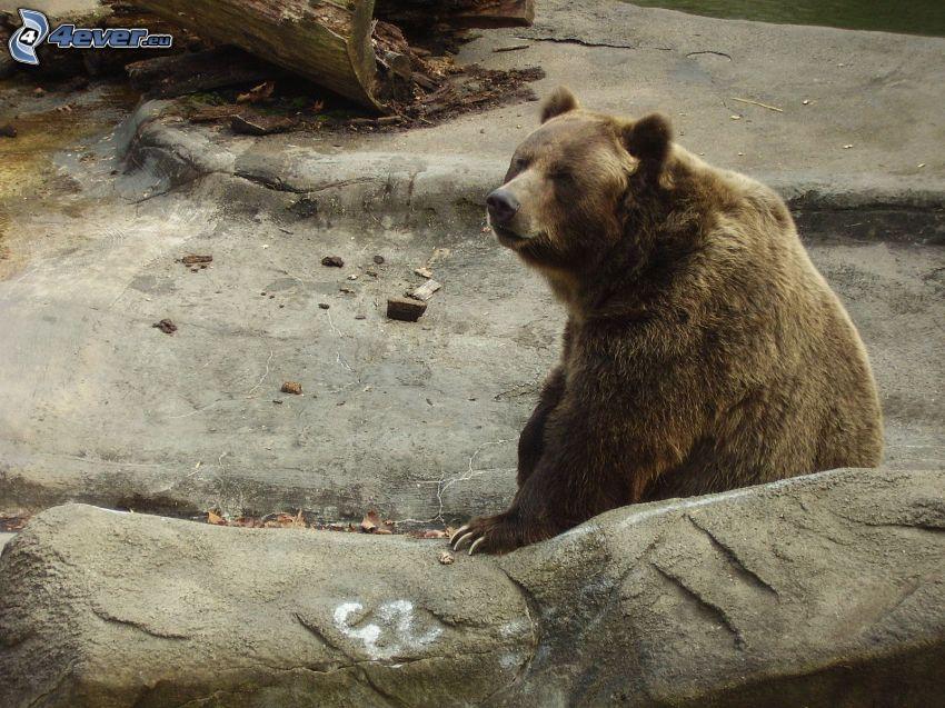 grizzli, rocher