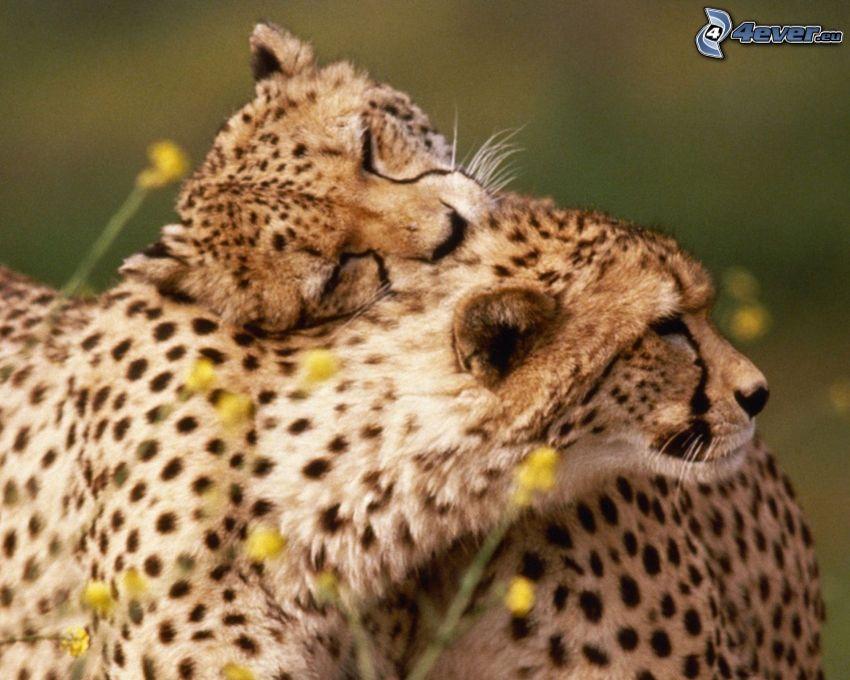 guépards, étreinte, amour
