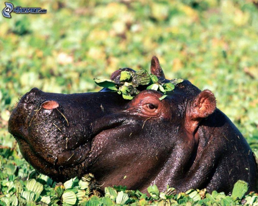 hippopotame, plantes