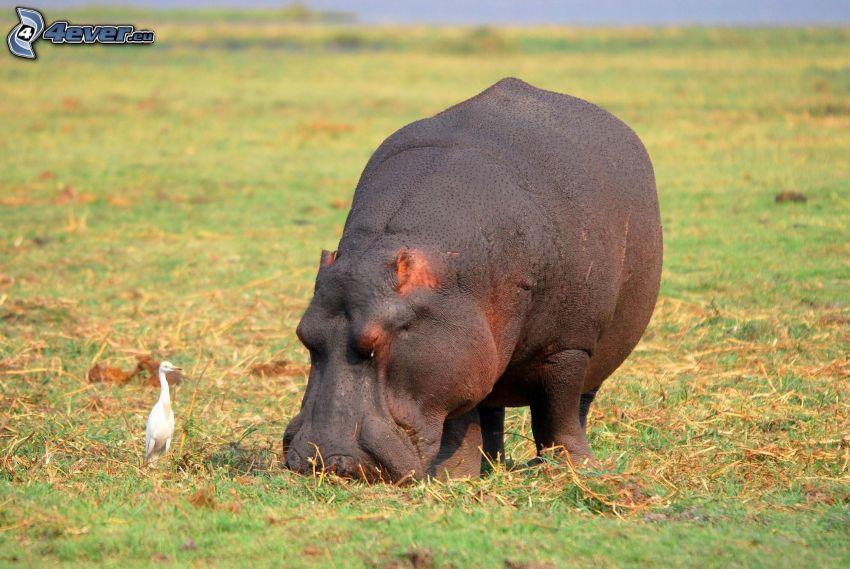 hippopotame, prairie