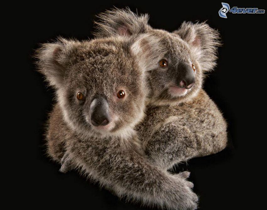 koalas, étreinte