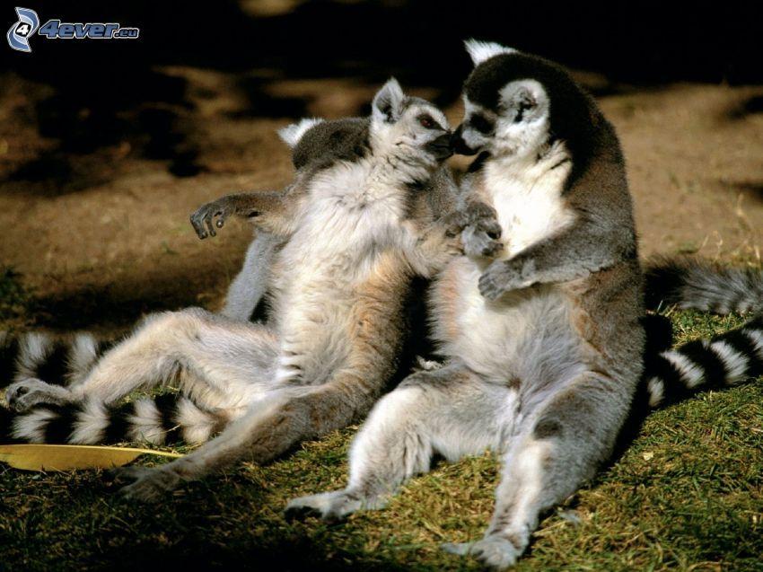 Lémur catta, amour