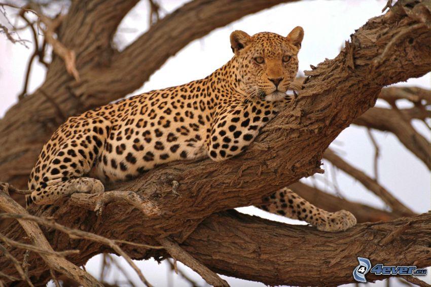 léopard, arbre
