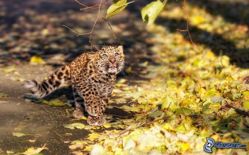 léopard, jeune, feuilles sèches