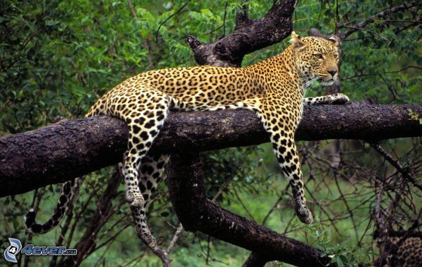 léopard sur un arbre
