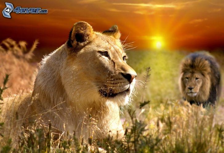 lionne, lion, coucher du soleil