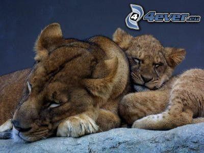 lionne avec ses petits, lionceau