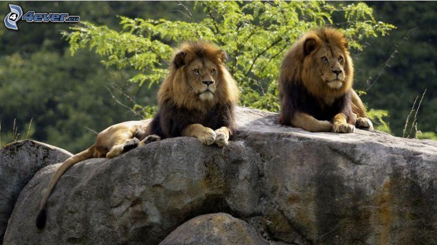 lions, rocher