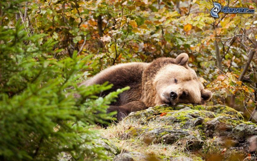 l'ours brun, dormir