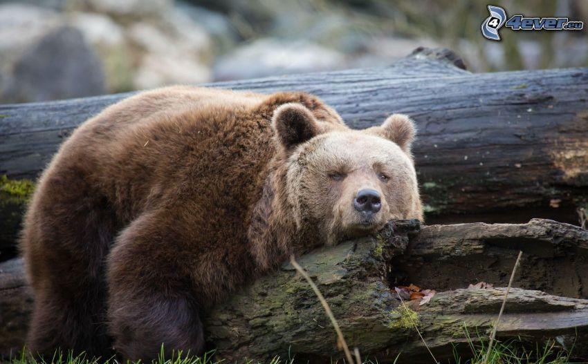 l'ours brun, tronc, repos
