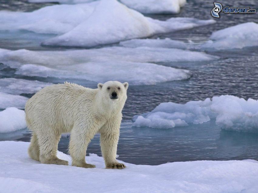 l'ours polaire, l'océan Arctique, bloc de glace