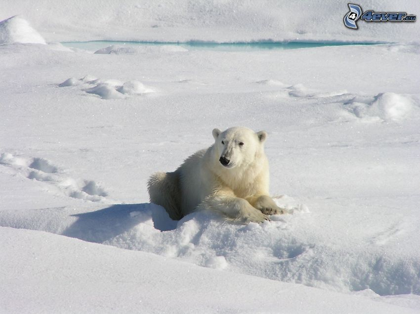 l'ours polaire, neige
