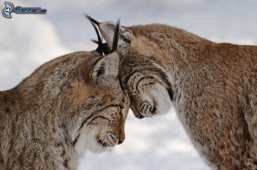 lynx, amour
