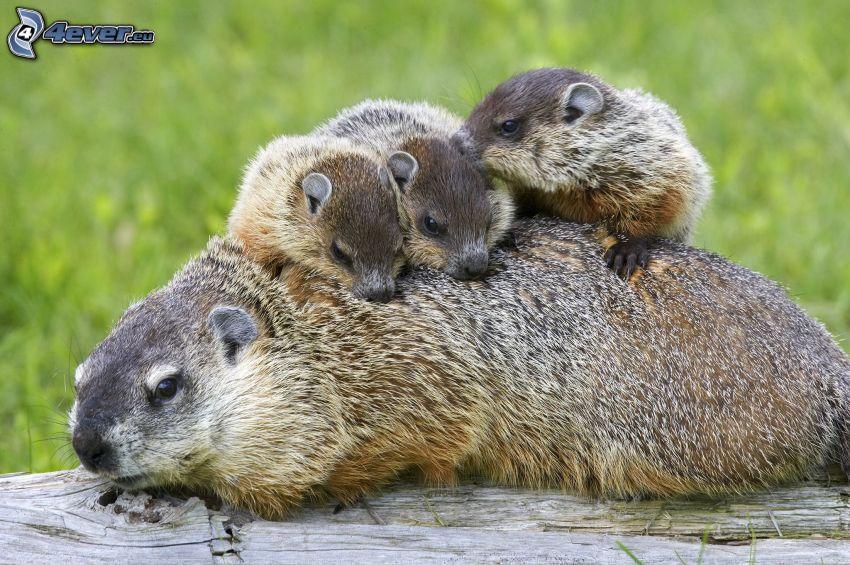 marmottes, jeunes, famille