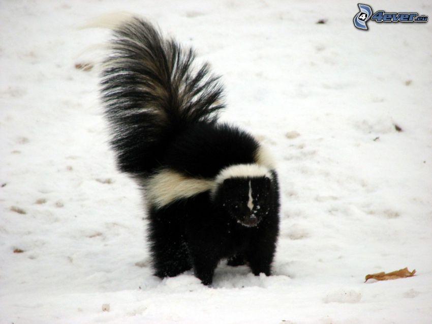 mouffette, neige