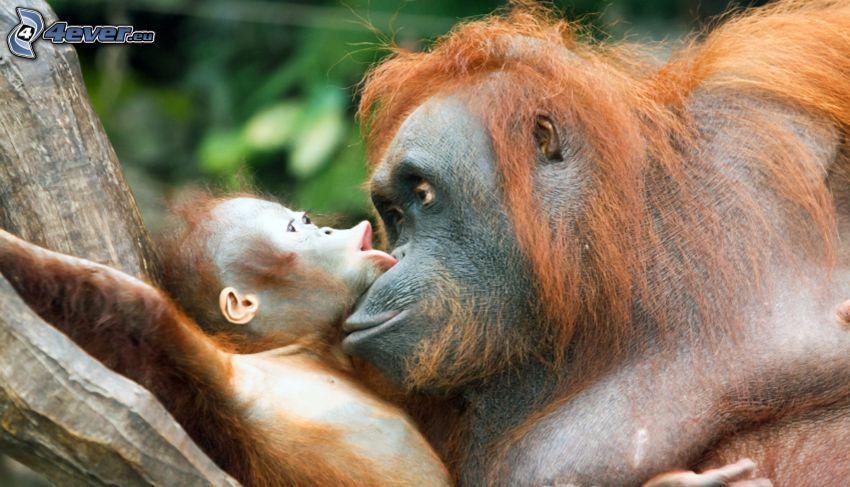 orang-outan, famille, jeune