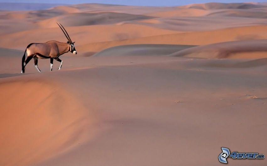 oryx, désert