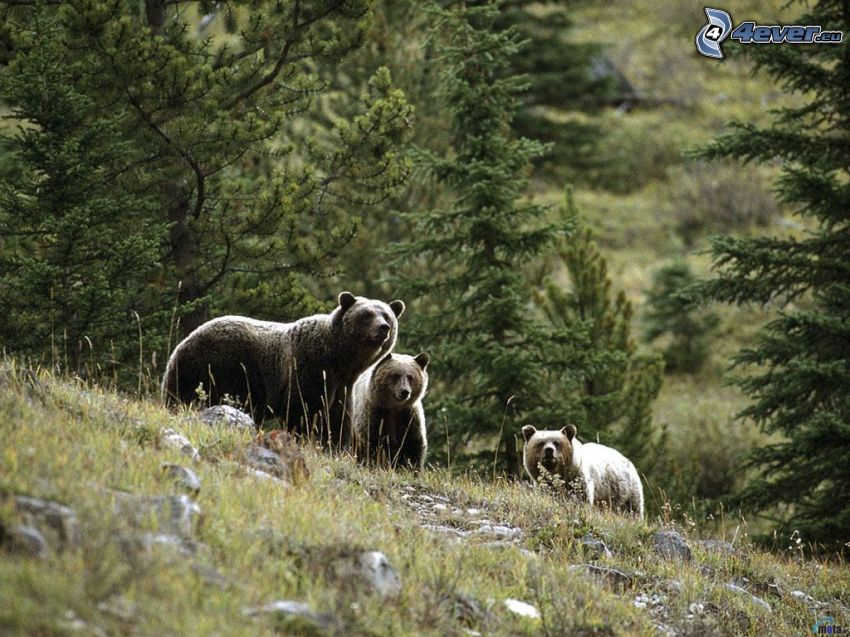 ours, montagne, prairie, forêt