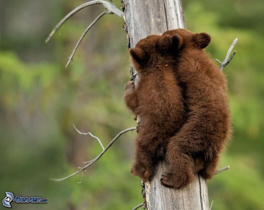 ours bruns, jeunes, tronc