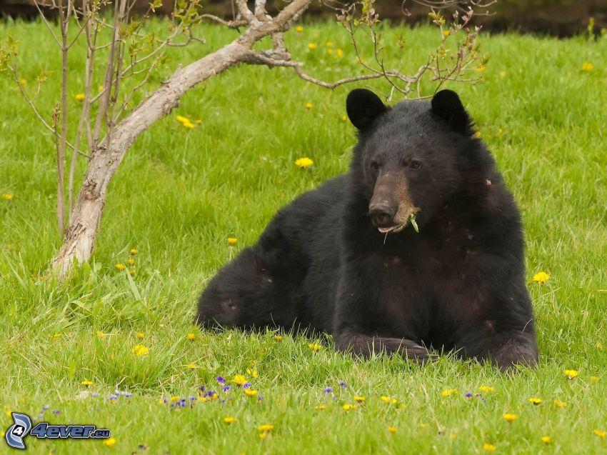 ours noir, prairie, herbe verte