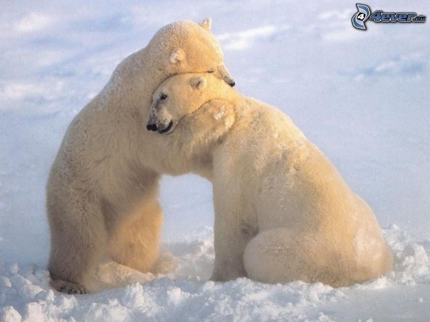 ours polaires, étreinte, neige
