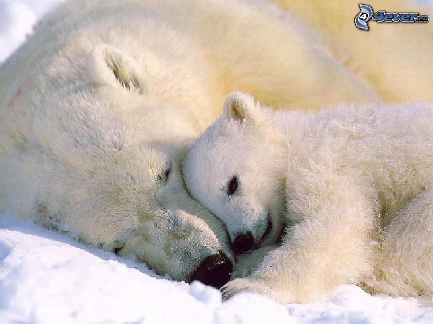 ours polaires, jeune, amour, repos, l'hiver, pôle Nord, neige