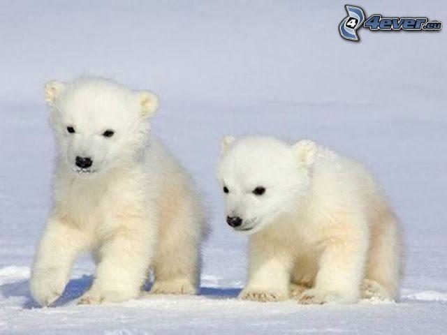 ours polaires, jeunes