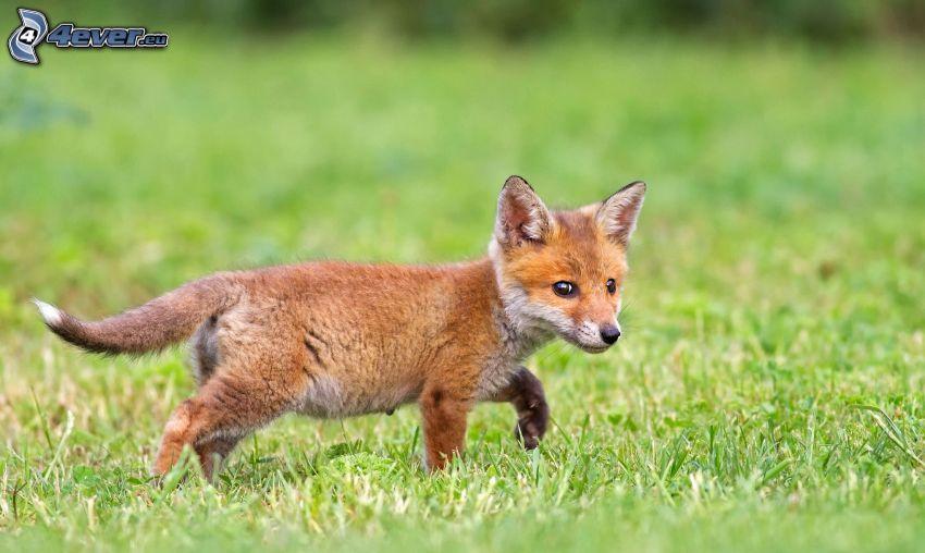 petite renard, l'herbe