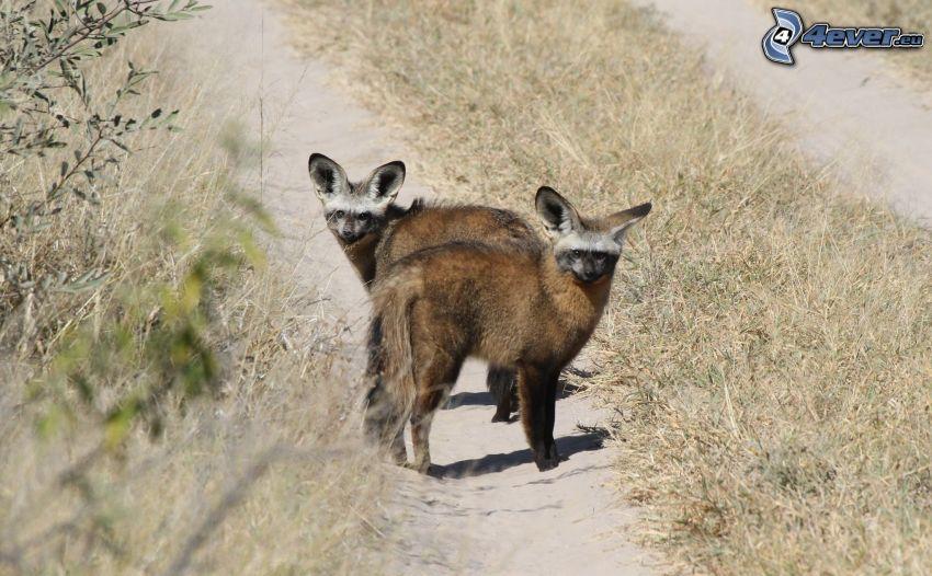 renard à oreilles de chauve-souris, chemin de campagne