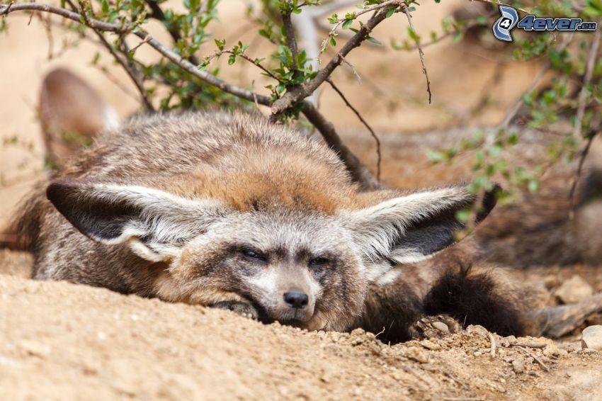 renard à oreilles de chauve-souris, dormir